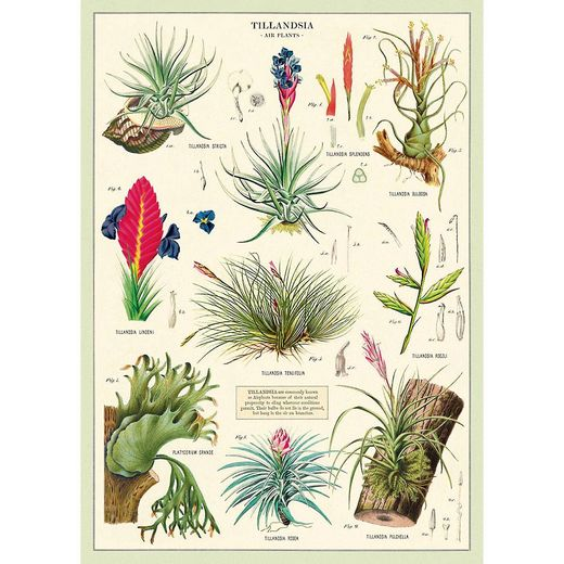Juliste Cavallini - Air plants