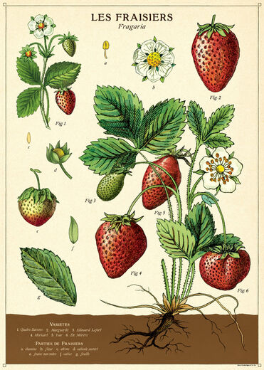 Juliste Cavallini - Strawberry
